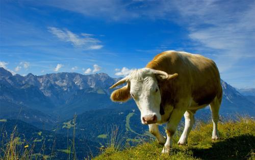 莫能菌素怎�羽B好肉牛牛羊育肥
