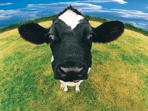 牛喂什么�料�L得快肉牛�B殖技�g�Y料�倥o�料