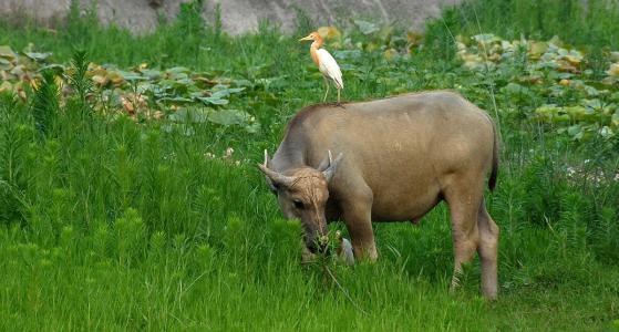 养牛喂什么饲料牛羊饲料如何育肥肉牛