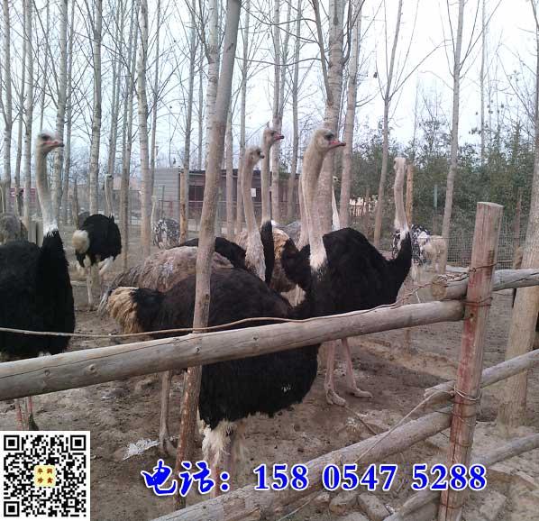 安徽亳州大量供应鸵鸟肉价格