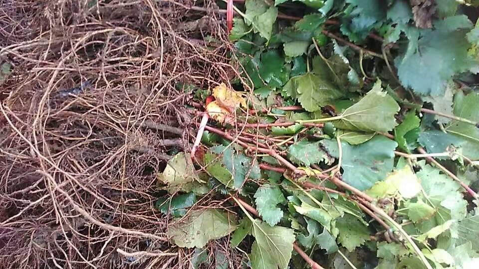 韶关葡萄小苗一亩地多少棵葡萄新品种培育