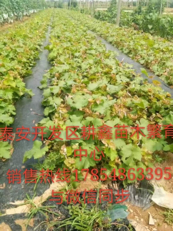 自贡5年葡萄苗那个品种好葡萄繁育中心