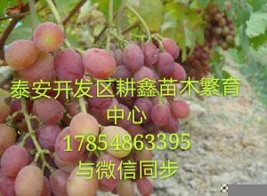 吉林葡萄苗经济效益怎么样葡萄新品种培育