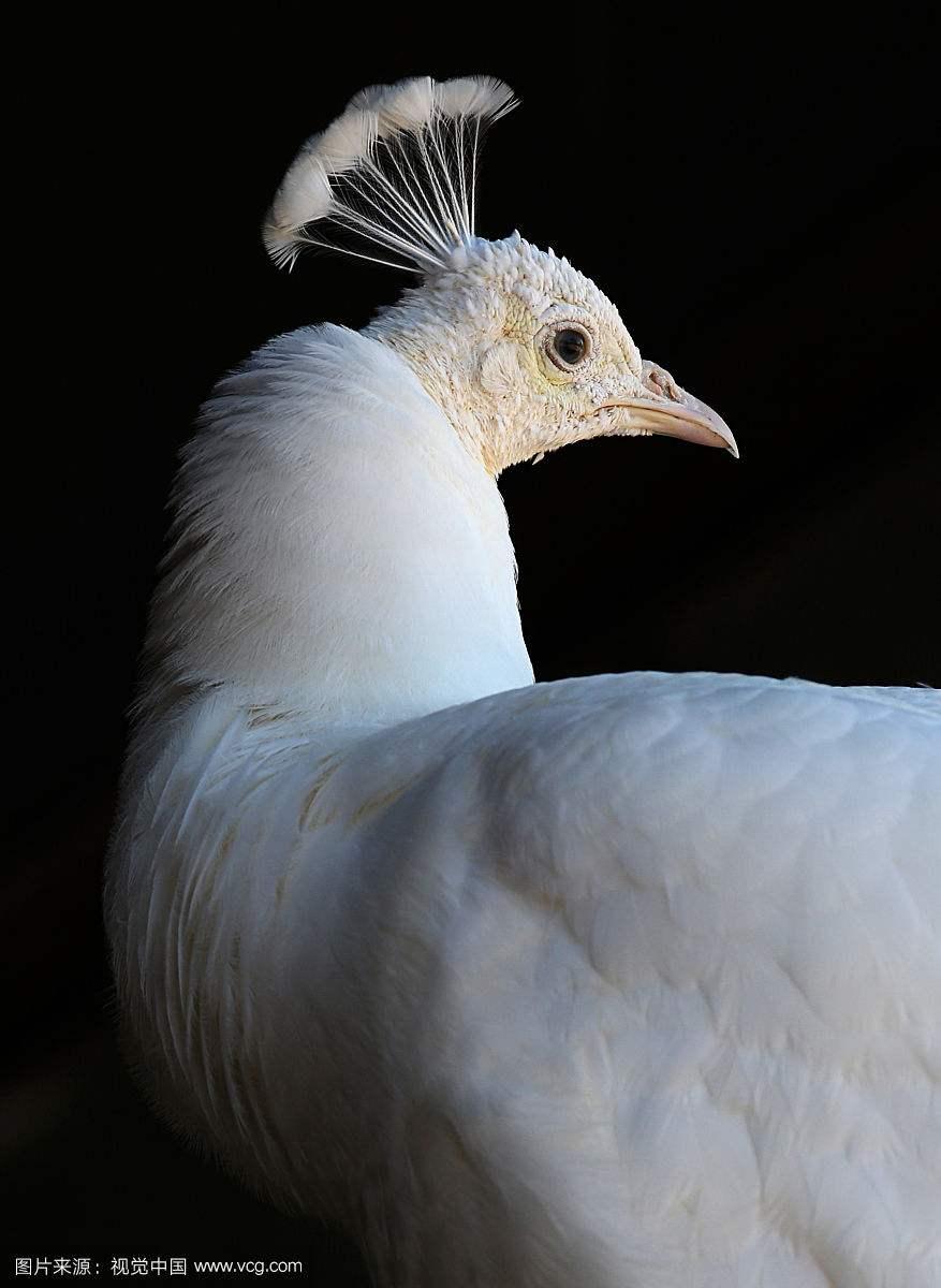 涵江区漂亮的蓝孔雀如何养殖