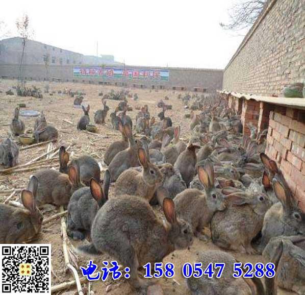 安徽明光杂交野兔苗市场价格