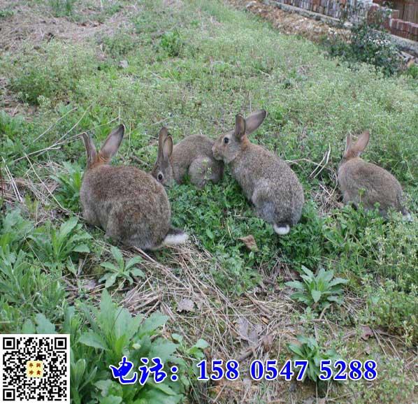 上海宝山杂交野兔市场价格