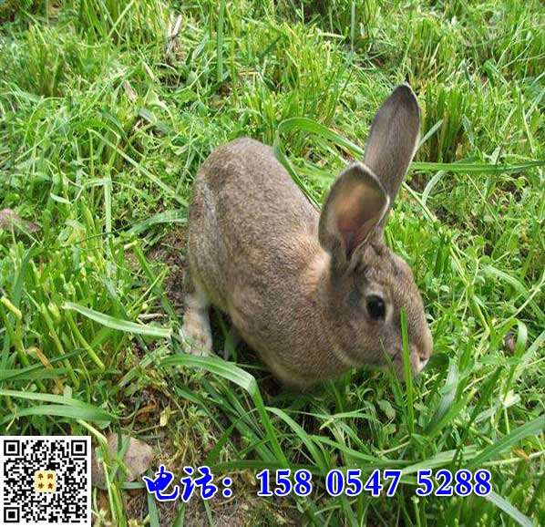 辽宁盖州杂交野兔多少钱一斤