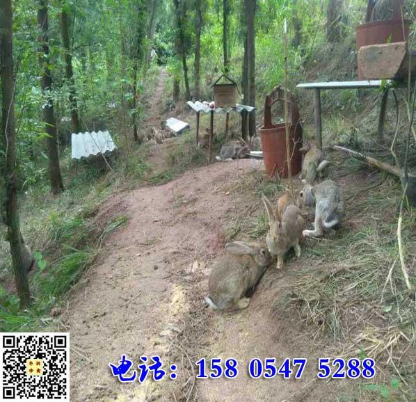 辽宁庄河杂交野兔养殖销售