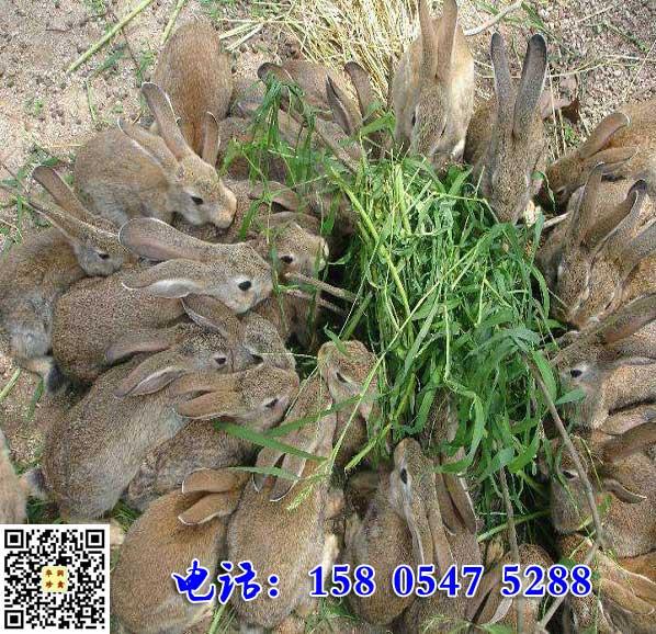 云南曲靖杂交野兔多少钱一斤