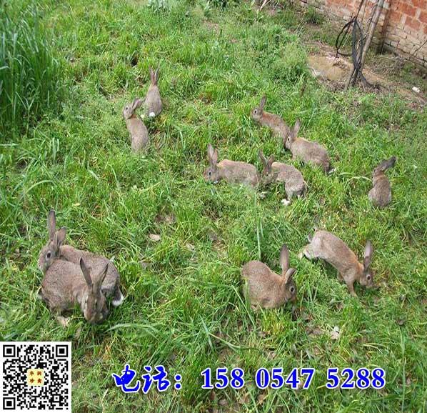 新疆阿克苏杂交野兔市场价格