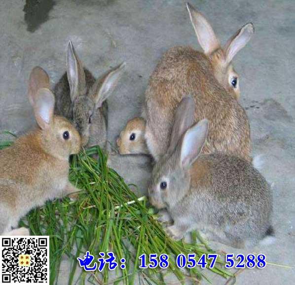 广西河池杂交野兔苗多少钱一只
