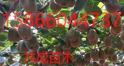 内包头哪里有早熟苹果树苗18年批发价