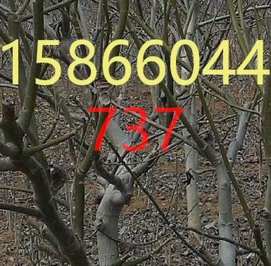 广西百色桃树苗哪里有桃树苗18年基地批发