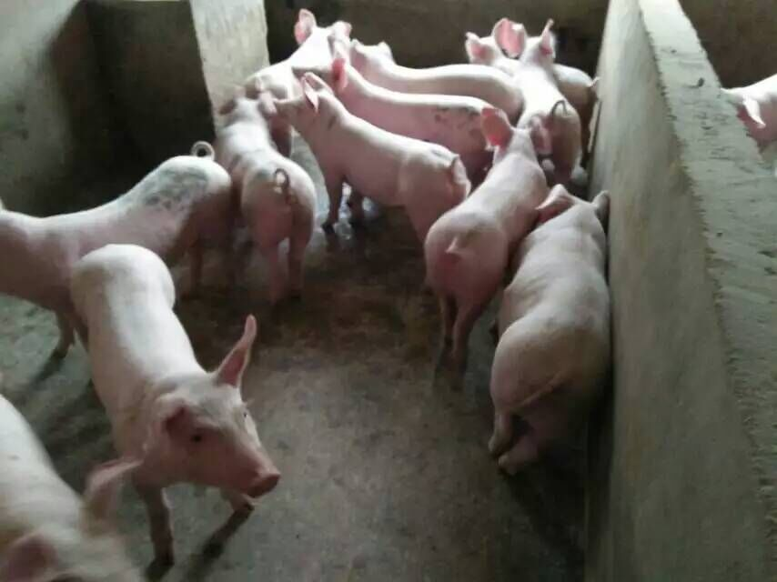 今日湖北仔猪价格表