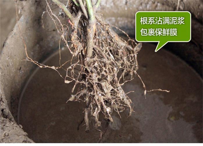 云南昭通蓝莓苗优质品种、这里有卖