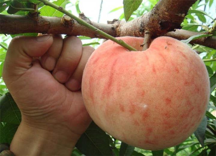 牡丹江市映霜红桃树苗当地有卖的吗