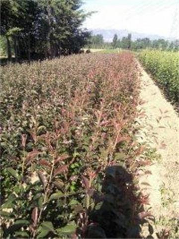 江西鹰潭露天草莓苗产苗地草莓苗头条报价