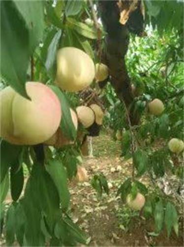 江西景德镇露天草莓苗货源在哪草莓苗头条报价