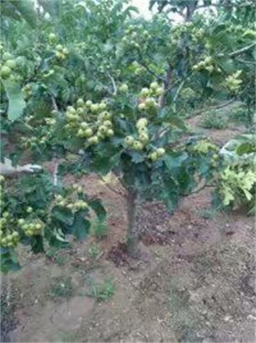 苗木在线:哪里有红梨树苗内呼伦贝尔桃树苗18年价格
