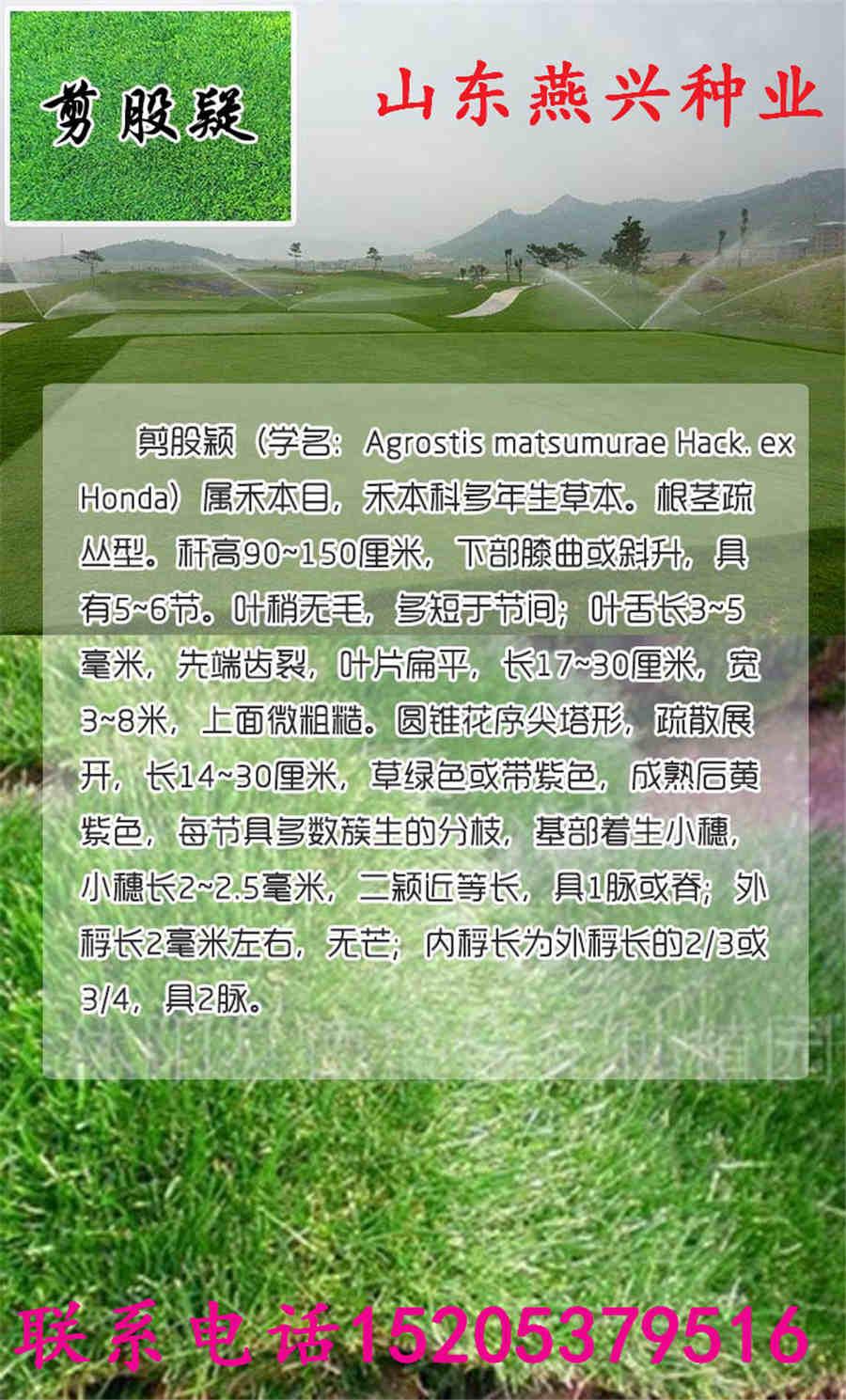 镶黄旗出售一年生黑麦草种子多少钱一斤