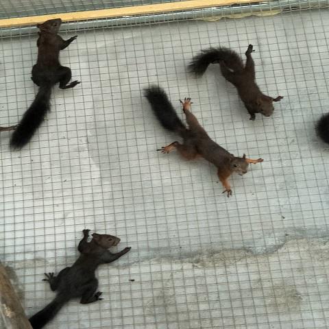 养殖松鼠挣钱吗在哪里能买到人工养殖松鼠江西松鼠养殖场