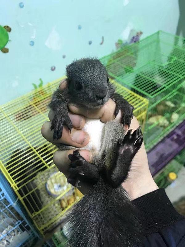 松鼠多少�X什么地方有�u�H人的松鼠江西松鼠�r格