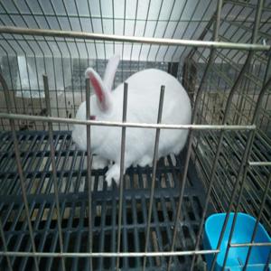 供兰州小兔厂―甘肃幼兔场
