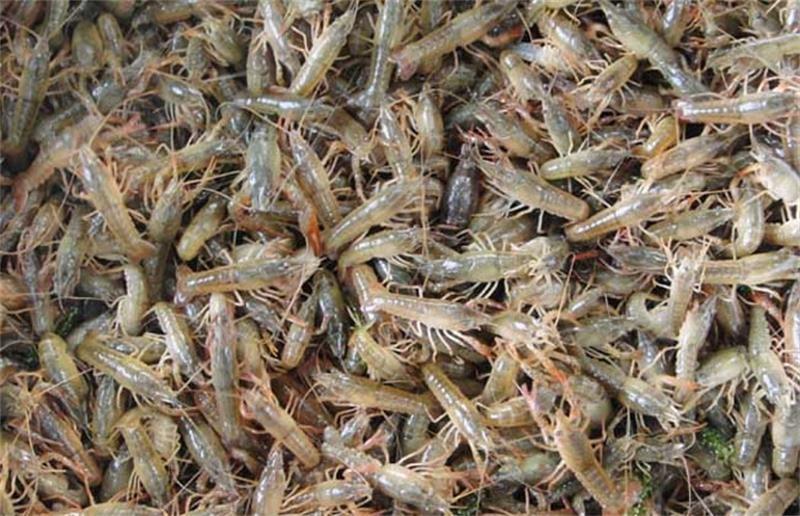 万载小龙虾苗价钱多少大量批发小龙虾苗