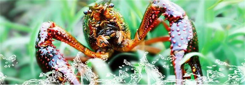 东莞小龙虾苗供应小龙虾苗一亩投入多少