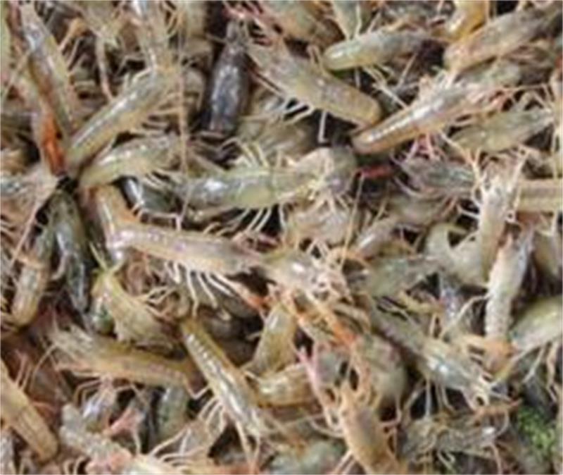 韶山淡水小龙虾苗报价、小龙虾种苗低价出售