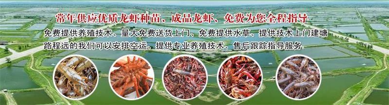 胶南淡水小龙虾苗报价、小龙虾种苗低价出售