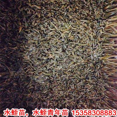 水蛭养殖水蛭种苗稻田水蛭苗