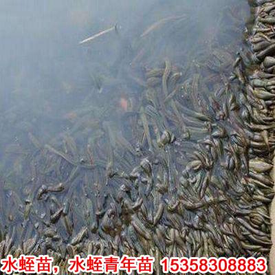 人工养殖水蛭宽体金线蛭种苗水蛭卵茧