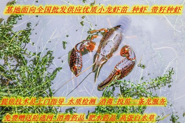 黔东南丹寨县小龙虾苗多少钱一斤一亩需要多少斤虾苗