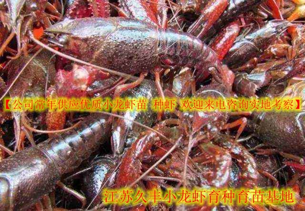泰州高港小龙虾养殖场小龙虾市场行情