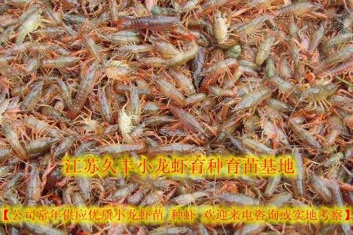 毕节金沙县带籽种虾批发价格小龙虾快3网成本