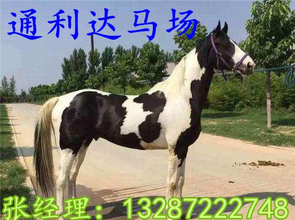 山东有卖皇家马车场子吗拉车的改良马多少钱一匹