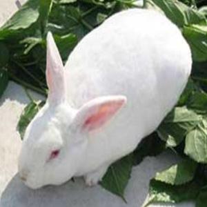 供甘肃定西獭兔和白银法系獭兔多少钱