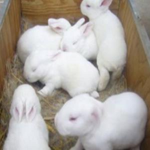 供兰州肉兔养殖加盟和甘肃肉兔养殖