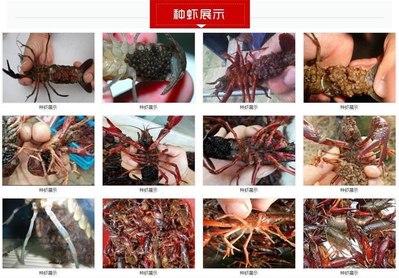 宁波小龙虾种苗养殖厂家