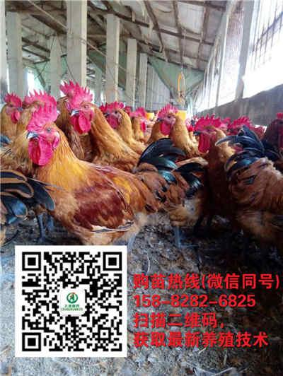 甘肃庆阳养殖五黑鸡苗厂家、批发、养殖厂