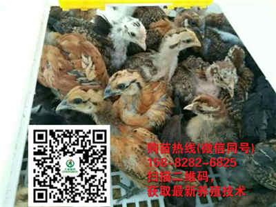 四川自贡养殖红羽土鸡苗成活率为什么这么高