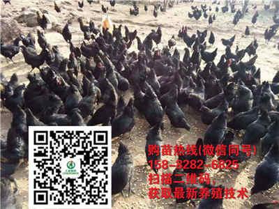陕西延安养殖狼山黑鸡为何这么受欢迎