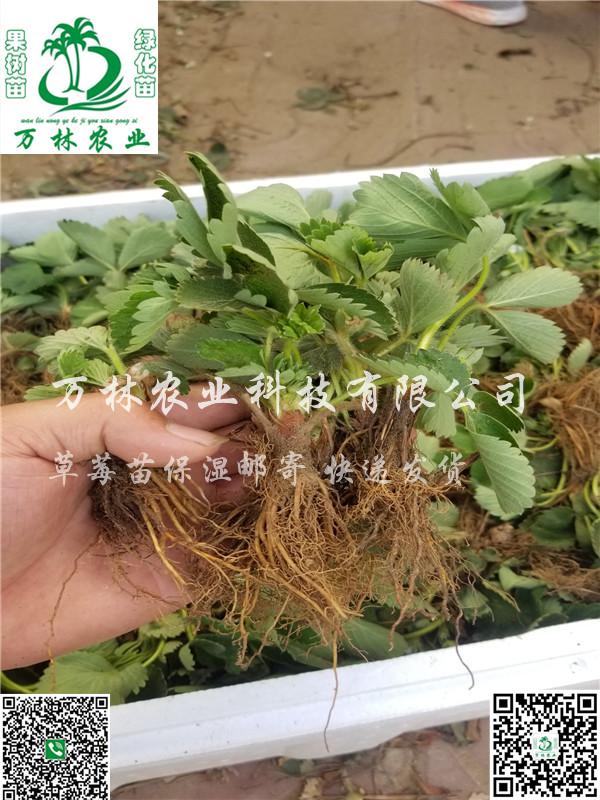 希利亚草莓苗基地供应价格、希利亚草莓苗出售