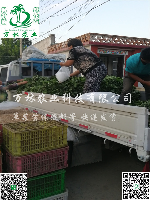 冬香草莓苗基地直销、冬香草莓苗批发价格