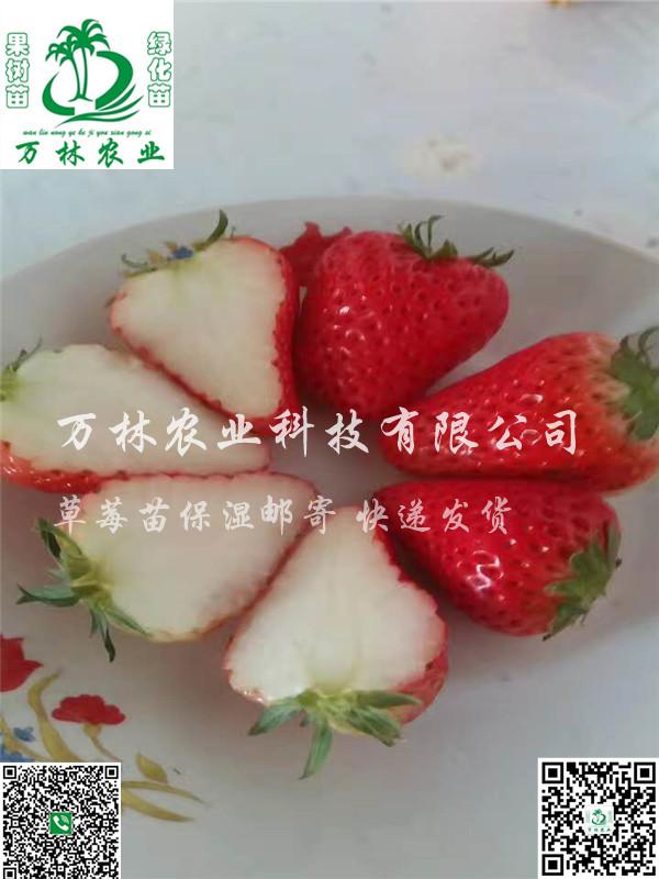 京留香草莓苗种植育苗基地、京留香草莓苗种植技术