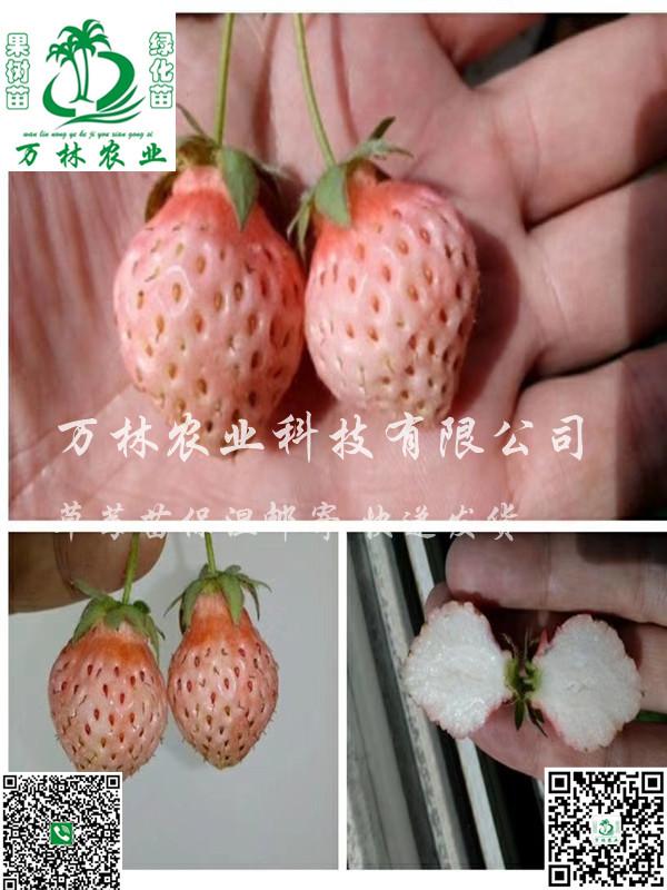 红实美草莓苗种植技术指导、红实美草莓苗出售