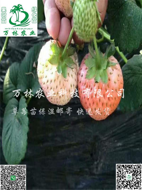 温塔那草莓苗种植技术指导、温塔那草莓苗品种介绍