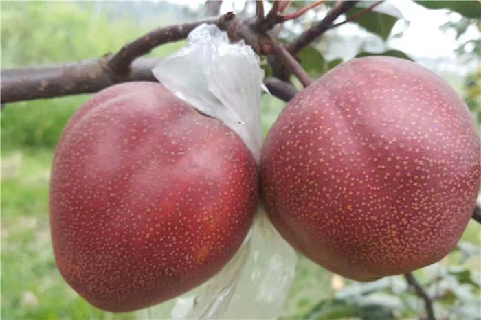 安徽安庆2345年苹果苗主要分布区在哪基地供应