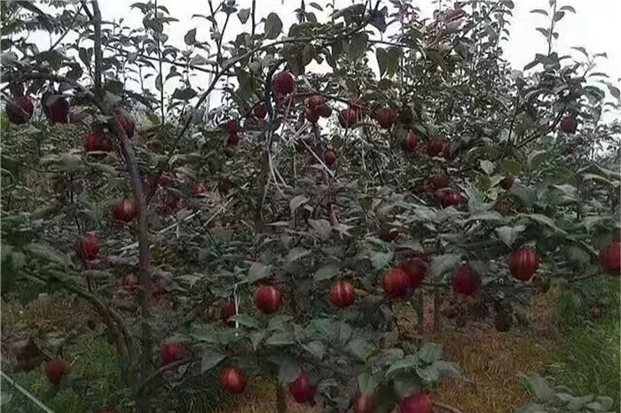 瀘州市脫毒草莓苗哪有基地